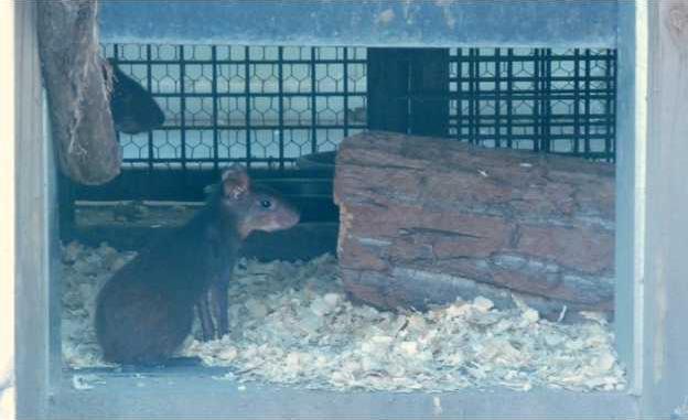 zoo slt agouti-main