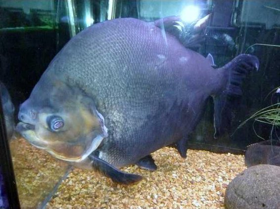 zoo slt jack dempsey fish